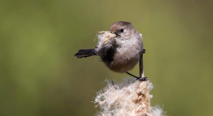 Jericho Bush tit with nesting material